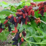 Beauty Food: Mulberries