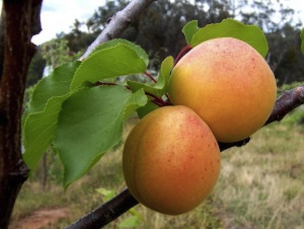 Apricots - a beauty food for the eyes and skin